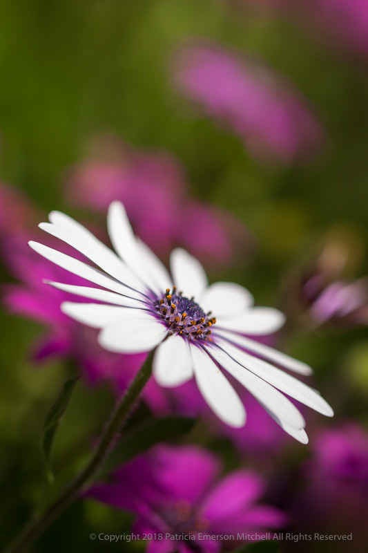 White_Osteospermum_with_Purple_&_Green,_2.11.16.jpg