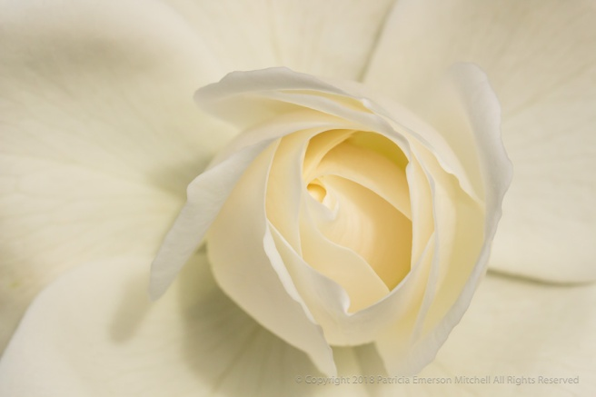 White_Rose_(II),_4.19.17.jpg