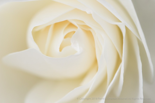 White_Rose_(II),_4.24.17.jpg