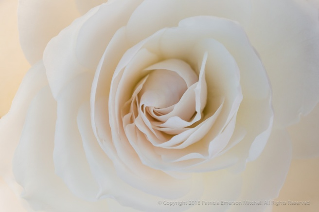 Backlit_White_Rose,_3.9.17.jpg