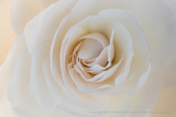 Backlit_White_Rose,_3.9.17.jpg