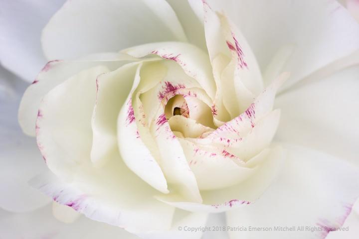 Mostly_White_Ranunculus,_4.4.18.jpg