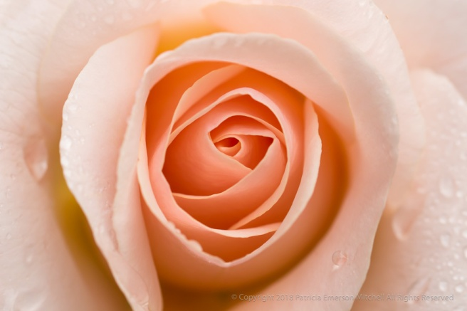 Pale_Peach_Rose_with_Raindrops,_4.18.17.jpg