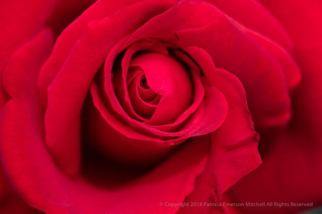 Precious_Platinum_Rose_(I),_4.30.18.jpg