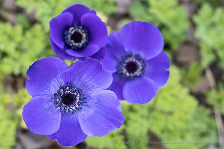 Purple_Anemones,_3.19.18.jpg