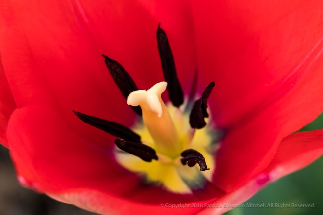 Red-Orange_Tulip_(I),_3.12.18.jpg