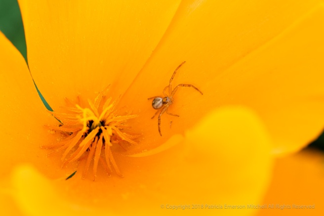 Spider_on_a_Poppy,_4.4.18.jpg