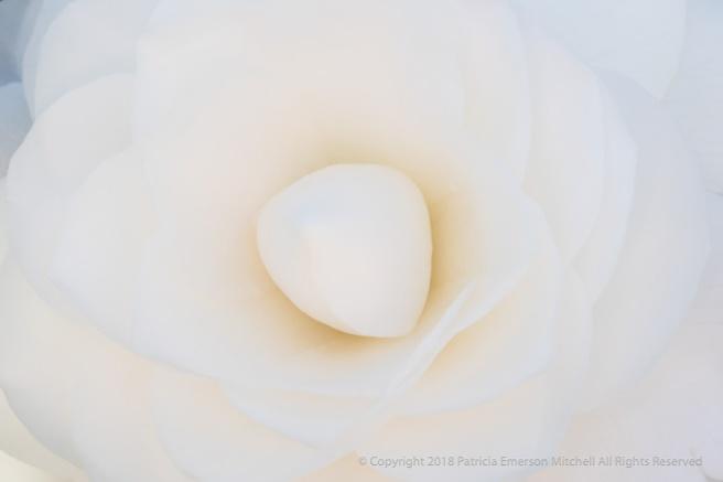 White_Camellia_(I),_2.19.18_.jpg