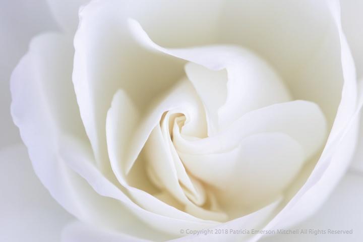 White_Rose_(I),_4.20.18.jpg