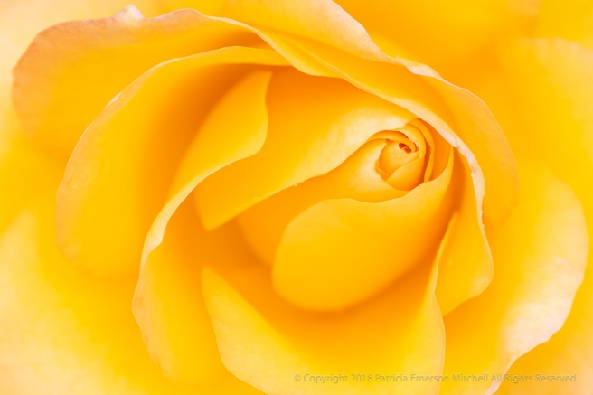Yellow_Rose,_4.17.18.jpg