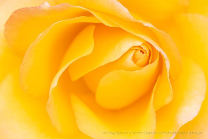 Yellow_Rose,_4.17.18.jpg