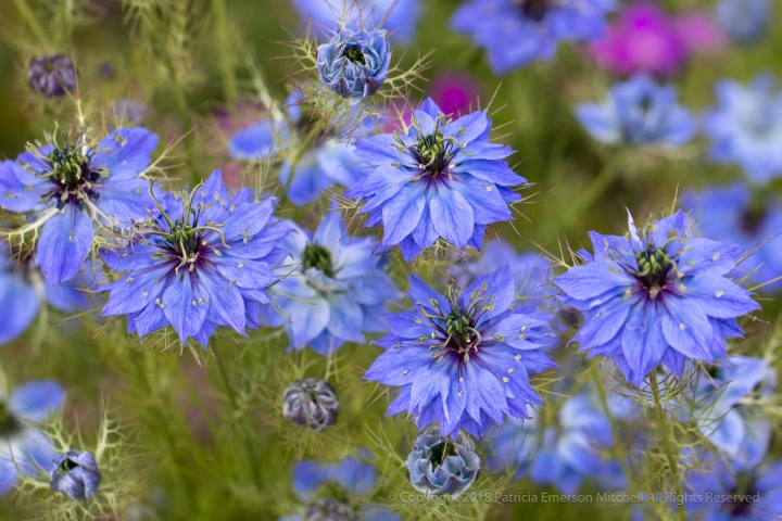 A_Field_of_Nigella_Damascena,_5.25.18.jpg