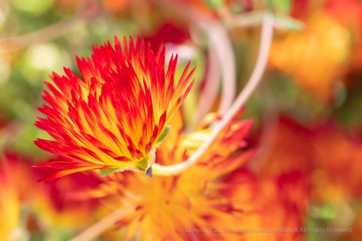 Drosanthemum_bicolor_(I),_5.8.18.jpg