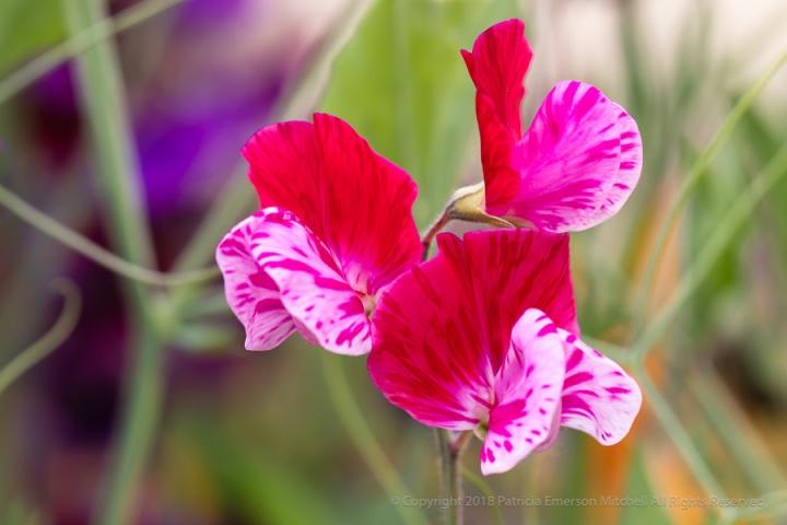 Pink_&_White_Sweet_Peas,_5.3.18.jpg