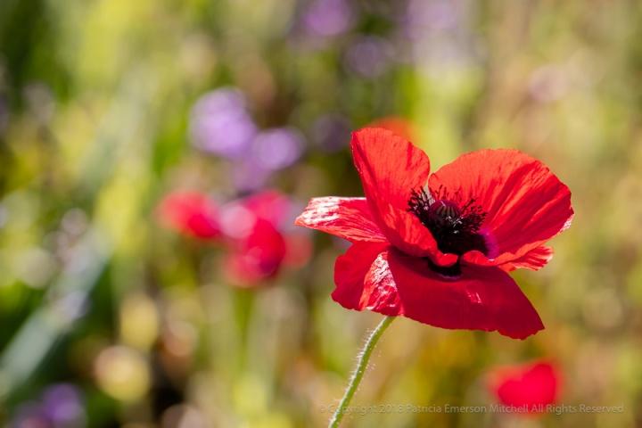 Red_Poppy,_5.2.18.jpg
