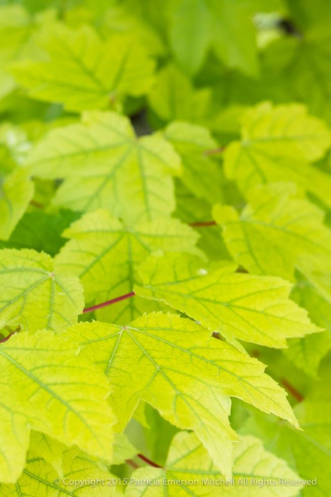Spring_Green_Leaves,_5.14.18.jpg