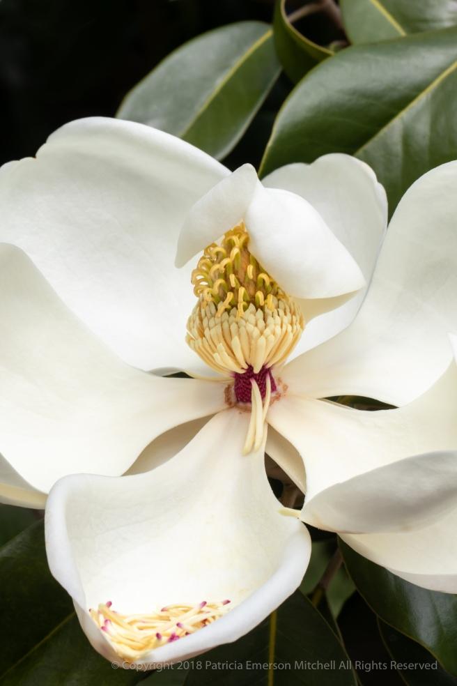 White_Magnolia,_5.9.18.jpg