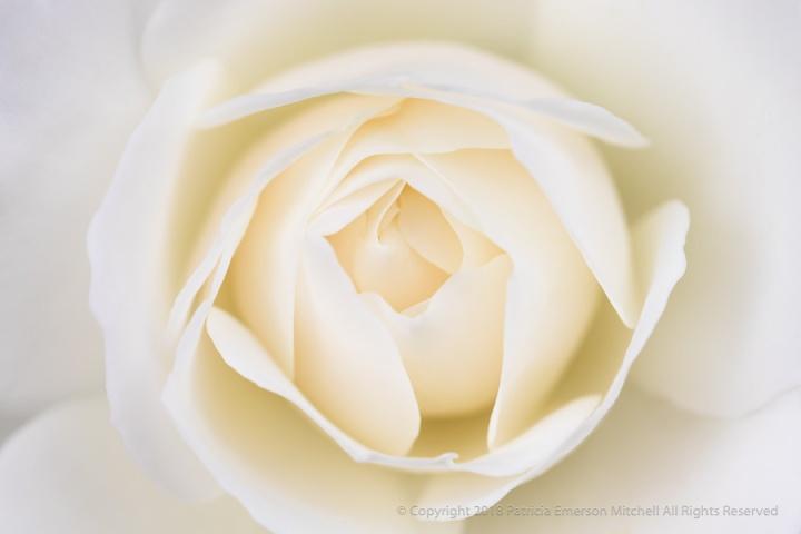 White_Rose_(I),_4.25.18.jpg