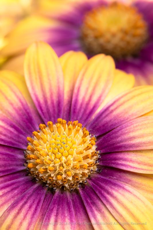 Yellow_&_Purple_Osteospermum,_4.9.18.jpg