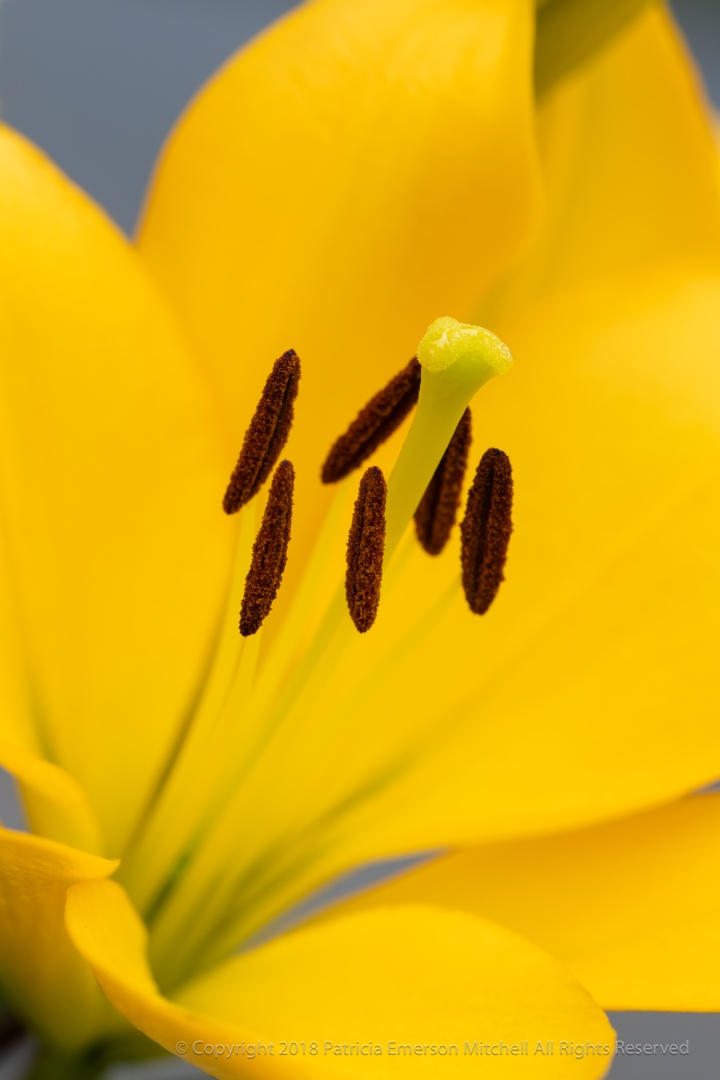 Yellow_Lily_(I),_5.24.18.jpg