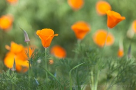 Poppy Patch, 3.12.15
