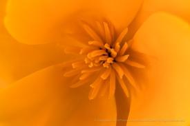 Orange Poppy, 3.8.18
