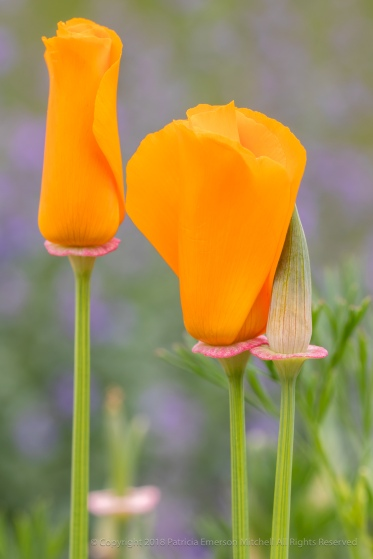 California Poppies, 4.18.18