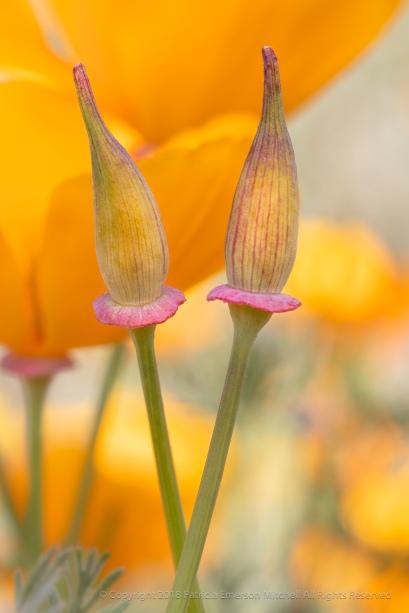 Poppy Buds, 5.4.18