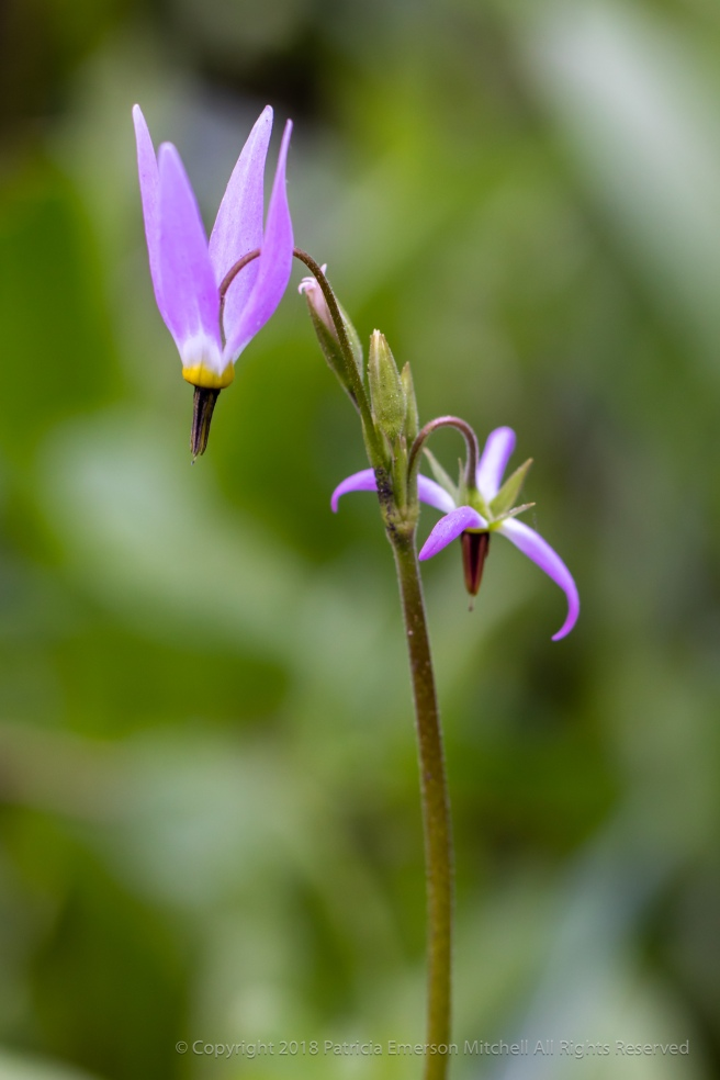 Dodecatheon_(I),_6.10.18.jpg