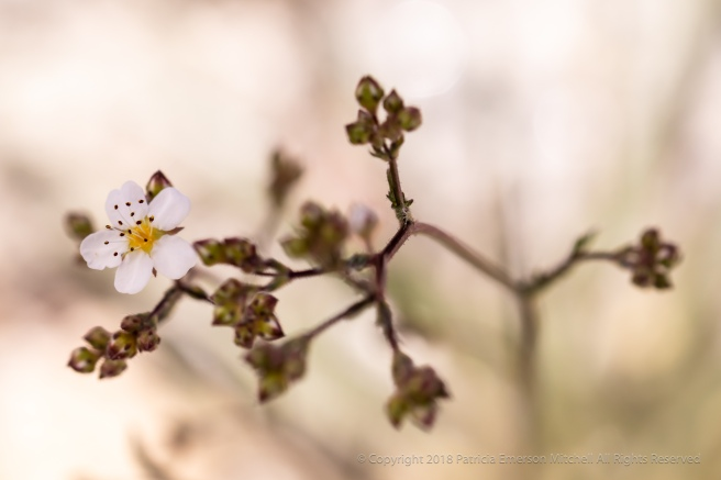 Small_White_Sierra_Nevada_Flower,_6.11.18.jpg