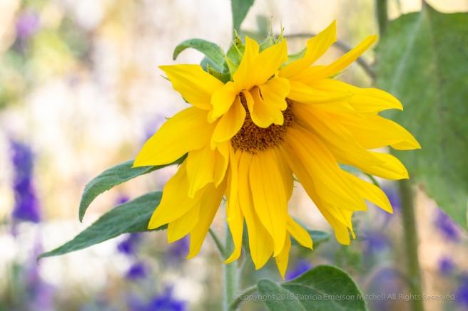 Sunflower,_6.13.18.jpg