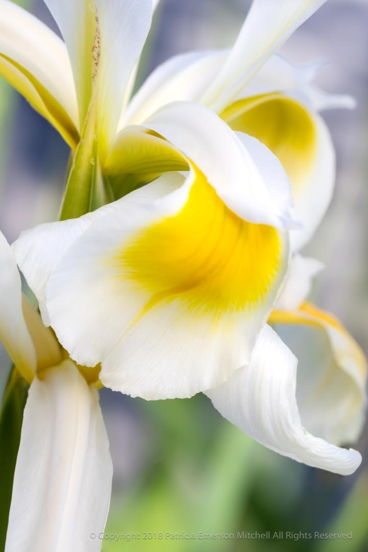 White_&_Yellow_Iris,_4.19.18.jpg