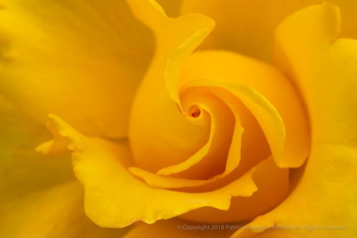 Yellow_Rose,_5.4.18.jpg