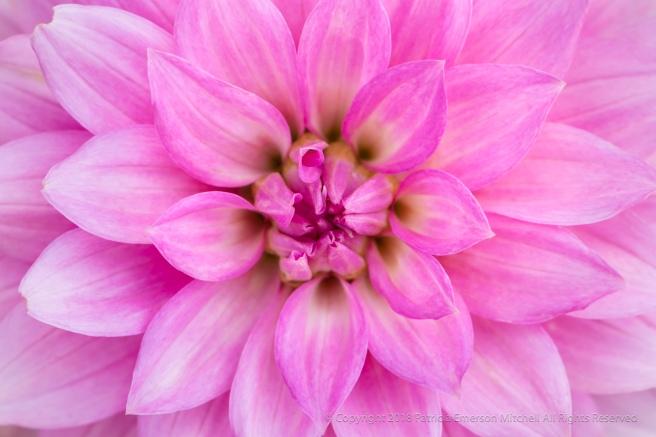 Pink_Dahlia_(I),_6.7.18.jpg