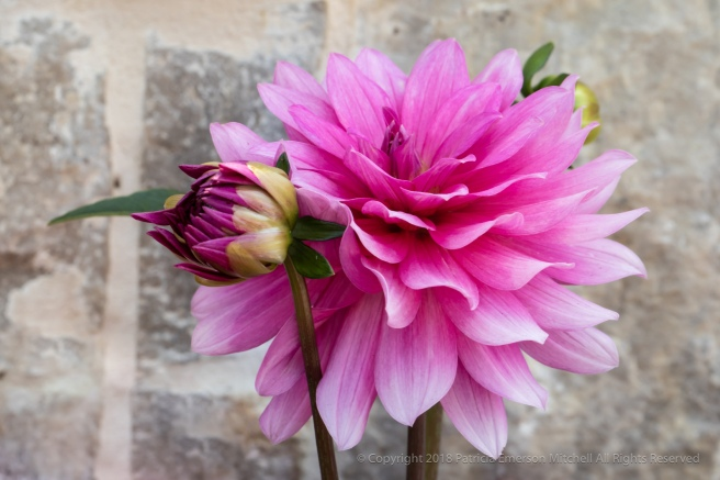 Pink_Dahlias_and_a_Wall,_6.7.18.jpg