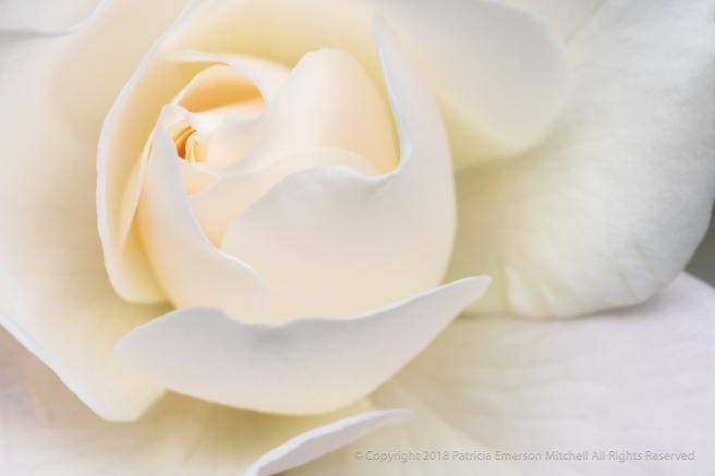 White_Rose_(I),_5.25.18.jpg