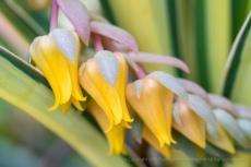 Yellow Echeveria Flowers, 5.24.18