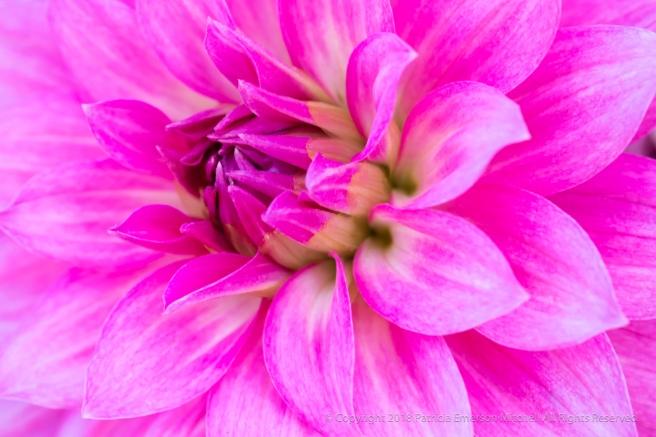 Pink_Dahlia_(III),_6.7.18.jpg