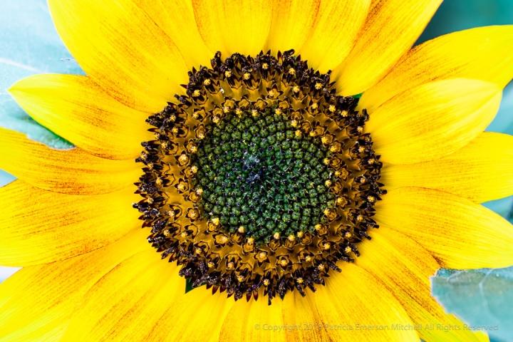 A_Sunflower_for_Kathy.jpg