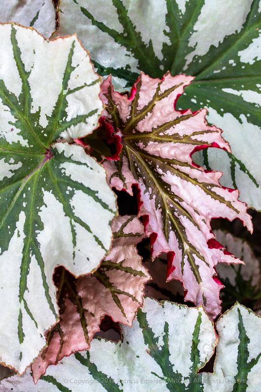 Begonia_Leaves,_8.5.15.jpg