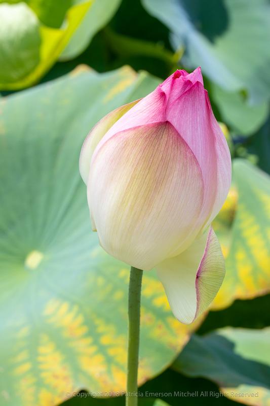 Lotus_Flower,_8.5.18.jpg