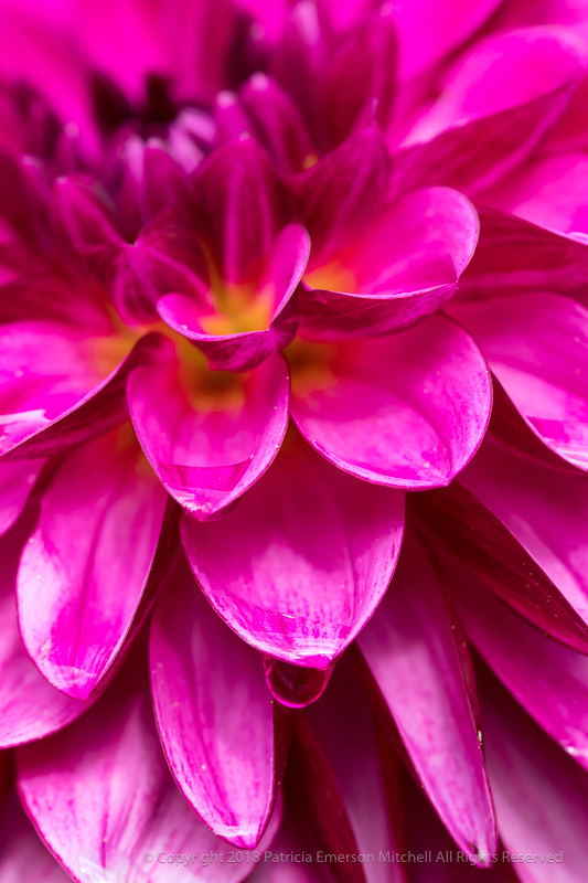 Pink_Dahlia_with_Water_Drops,_10.20.17.jpg
