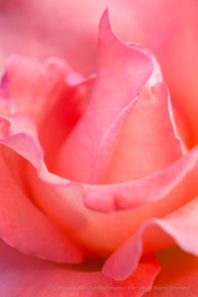 Pink_Rose,_7.27.15.jpg
