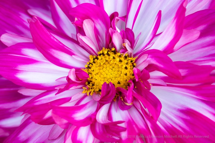 Pink,_White,_&_Yellow_Cosmos,_9.26.18.jpg