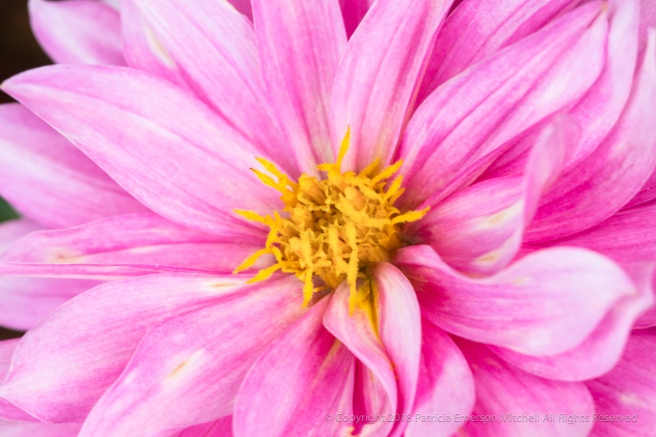 Pink,_White,_&_Yellow_Dahlia_(I),_6.7.18.jpg
