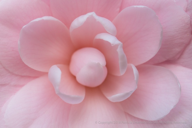 Light_Pink_Camellia_(I),_1.11.18.jpg