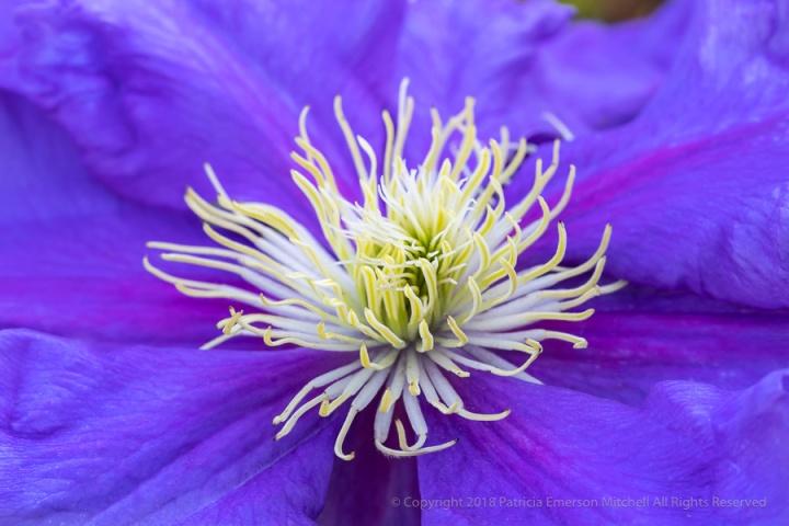 Purple_Clematis_(I),_10.8.18.jpg