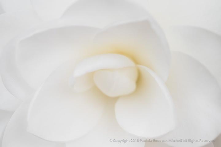 White_Camellia_(I),_1.3.18.jpg