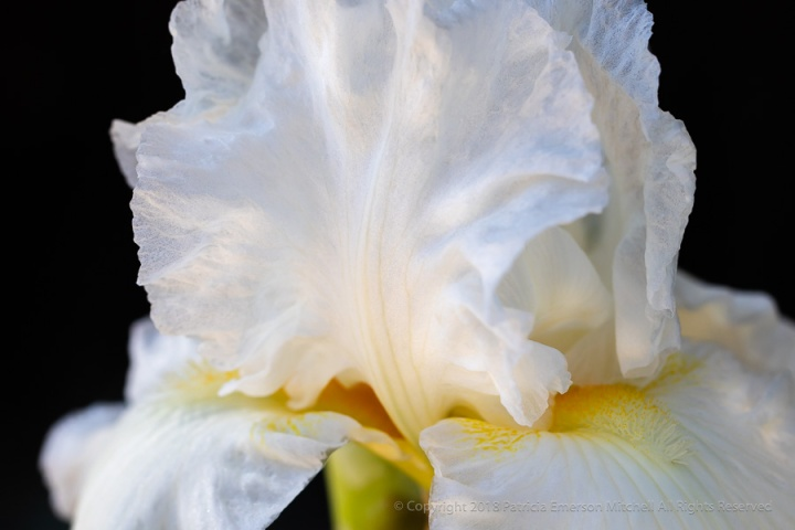 White_Iris_on_Black,_10.5.18.jpg