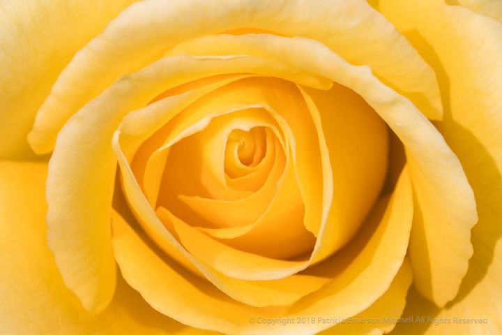 Yellow_Rose,_1.18.18.jpg